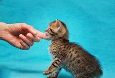 Cat Bengal Kitten photos libres de droits