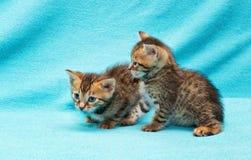 Cat Bengal Kitten photos stock