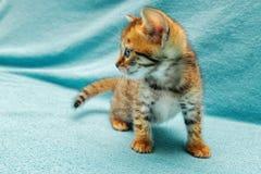 Cat Bengal Kitten photo libre de droits
