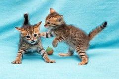 Cat Bengal Kitten images libres de droits