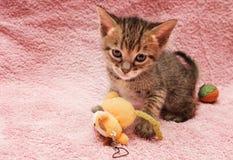 Cat Bengal Kitten image libre de droits