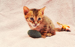 Cat Bengal Kitten image stock
