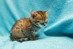 Cat Bengal Kitten photo stock