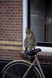 Cat on bicycle Stock Photos