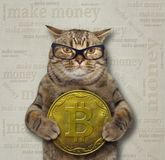 Cat with big bitcoin. The cat in glasses holds a big bitcoin. Gray background stock photo