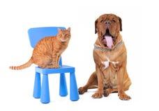 Cat and Big Dog Stock Photo