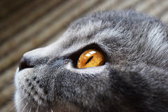 Cat with big eyes Stock Images