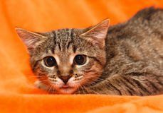 Cat with big eyes on orange Royalty Free Stock Image