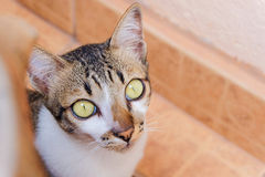 Cat with big yellow eyes Royalty Free Stock Photos