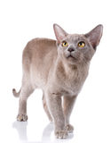 Cat with big yellow eyes walking on a white background Royalty Free Stock Photos