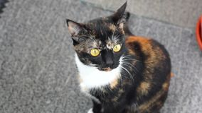 Cat with big yellow eyes stock video footage