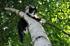 Cat on birch branch. Young cat standing on a birch branch Royalty Free Stock Photos