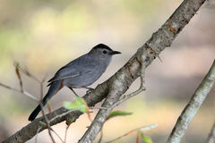 Cat Bird. A beautiful cat bird perched on a branch royalty free stock image