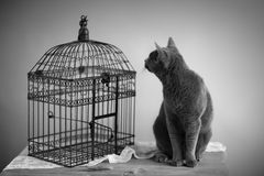 Cat and Bird Cage. Cat looking for bird near cage with feathers on table Stock Images