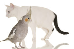 Cat and Bird Story. An adorable cheeky cockatiel is in focus in the foreground. Behind the bird is a cat slightly out of focus. White background Royalty Free Stock Image