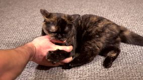 Cat bites man by the finger. Cat bites a man by the finger, and then licks it while playing stock video footage