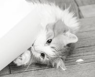 Cat biting roll of drawing paper. Adult cat biting roll of white drawing paper in black and white stock photography