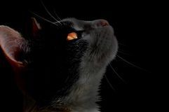 Cat on black background Stock Photography