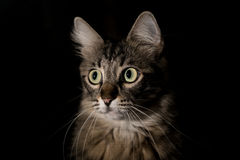 Cat on a black background Royalty Free Stock Photo