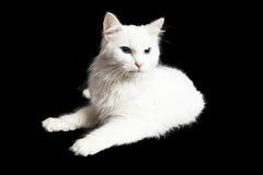 Cat On Black Background branca irritada Imagens de Stock