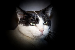 Black and white cat close up Stock Photos
