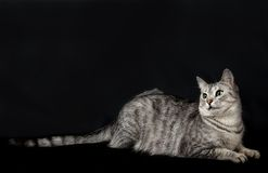 Cat in black background, cat portrait, Cat isolated in dark background, Cat portrait close up, cat in studio with space for advert Stock Photo