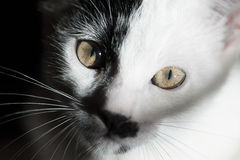 Cat on black background. Close up. Cat on black background. Close up Stock Photography