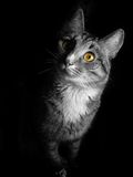 Cat on black background. Gray cat with green eyes on black background Royalty Free Stock Image