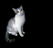 Cat on black background. Kitty cat cute on black background Stock Images