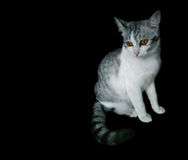Cat on black background. Kitty cat cute on black background Stock Photos