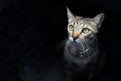 Cat on black background. Porrtrait of mysterious cat on black background Royalty Free Stock Images