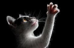 Cat on black background. Side view royalty free stock images