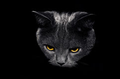 Cat on a black background. View from the darkness. muzzle a cat on a black background Royalty Free Stock Photo