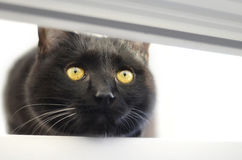 Cat. Black cat with beautiful wild eyes Stock Images