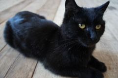 Cat, Black Cat, Black, Mammal royalty free stock image