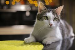 Cat on the black desk in the kitchen. Cat is lying on the kitchen island Royalty Free Stock Images