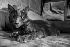 Cat Black e negro bianco- di Gato Blanco y Immagini Stock Libere da Diritti