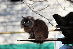 Cat. Black fluffy cat sitting on the roof Royalty Free Stock Photography
