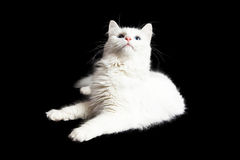 Cat On Black Looking Upwards bianca Fotografia Stock