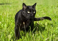 Cat black in nature Royalty Free Stock Photo