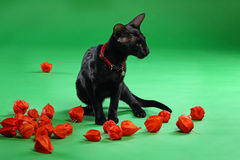 Cat black Siamese Oriental Shorthair Royalty Free Stock Image