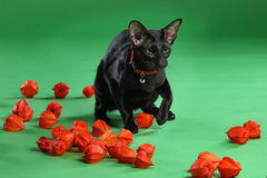 Cat black Siamese Oriental Shorthair Royalty Free Stock Photos