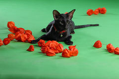 Cat black Siamese Oriental Shorthair Stock Image