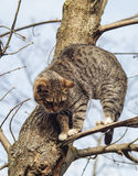 Cat with black stripes sitting on a branch of a tree which had no leaves. Gray cat with black stripes sitting on a branch of a tree which had no leaves Royalty Free Stock Photography