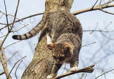 Cat with black stripes sitting on a branch of a tree which had no leaves Royalty Free Stock Images