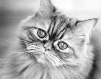 Cat. Black and white Stock Photography