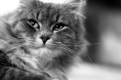 Cat In Black And White. Cat laying down and looking at something, black and white Stock Images