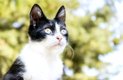 Cat. A Black And White Cat Royalty Free Stock Image