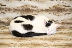 Cat black and white. Annual black and white cat resting on bed Royalty Free Stock Image