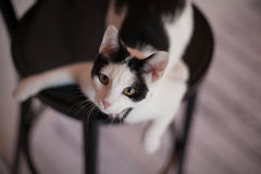 Cat. Black and white cat on a chair Royalty Free Stock Image